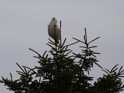 Snowy Owls -  Grays Harbor, WA